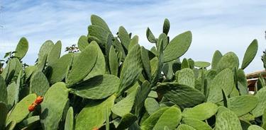 Nopal, la planta del futuro que te ayuda a controlar la diabetes